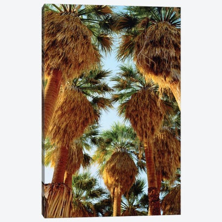 USA, California, Anza-Borrego Desert State Park. Native Fan Palm trees Canvas Print #JYG1054} by Jaynes Gallery Canvas Print