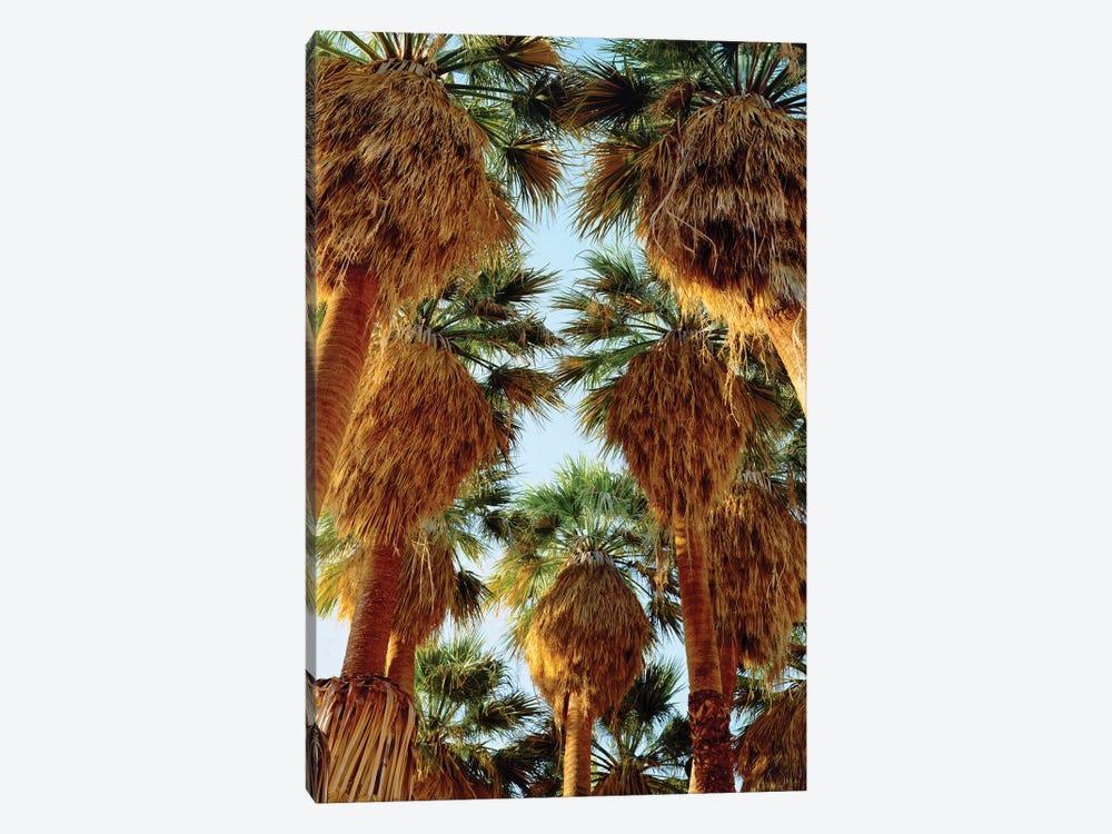 USA, California, Anza-Borrego Desert State Park. Native Fan Palm trees by Jaynes Gallery 1-piece Canvas Artwork