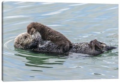 USA, California, San Luis Obispo County. Sea otter mother and pup. Canvas Art Print