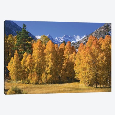 USA, California, Sierra Nevada Mountains. Aspens in autumn. Canvas Print #JYG107} by Jaynes Gallery Art Print
