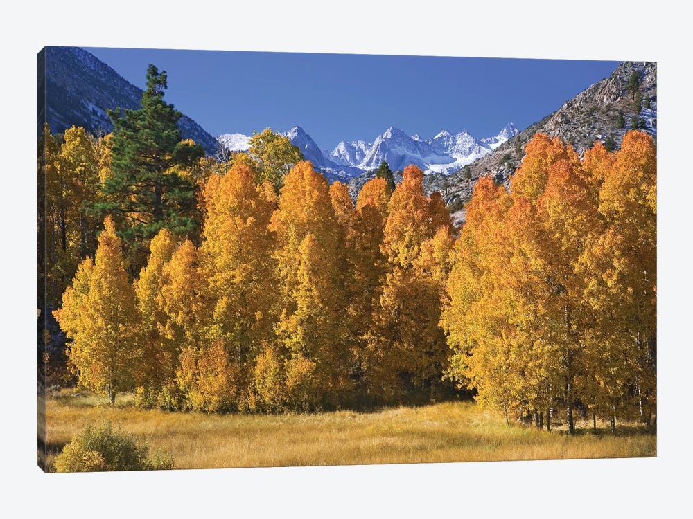 USA, California, Sierra Nevada Mountains. Aspens in autumn. by Jaynes Gallery 1-piece Canvas Artwork