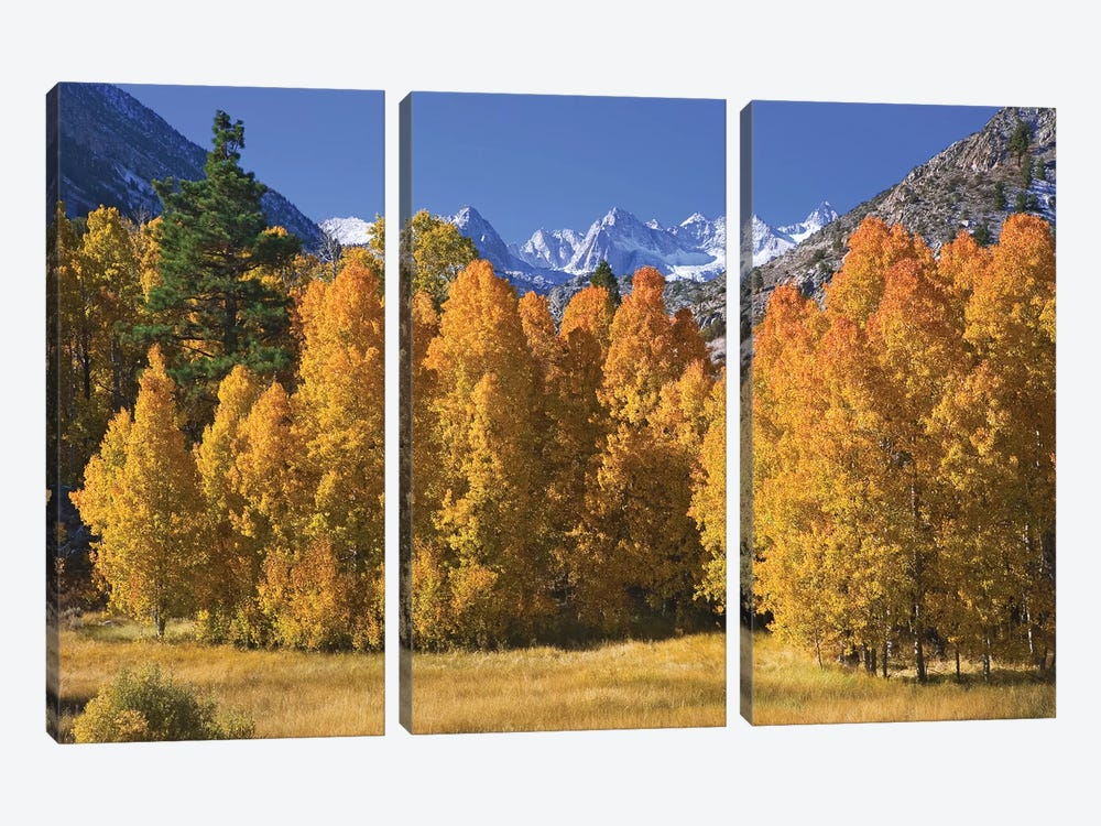 USA, California, Sierra Nevada Mountains. Aspens in autumn. 3-piece Canvas Artwork