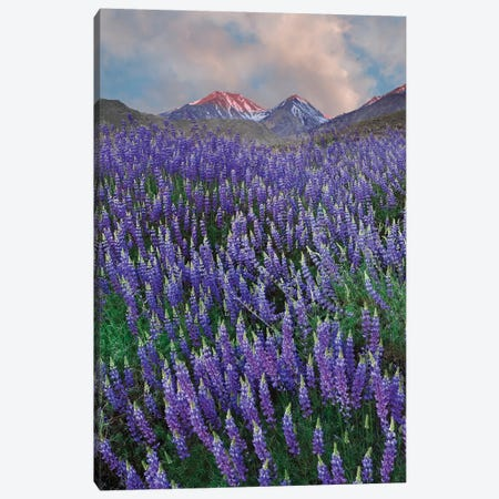 USA, California, Sierra Nevada Range. Blooming Inyo bush lupine flowers Canvas Print #JYG112} by Jaynes Gallery Art Print