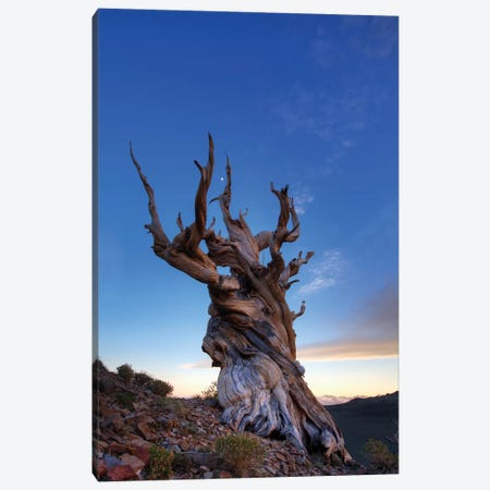USA, California, White Mountains. Bristlecone pine tree at sunset. Canvas Print #JYG116} by Jaynes Gallery Canvas Wall Art