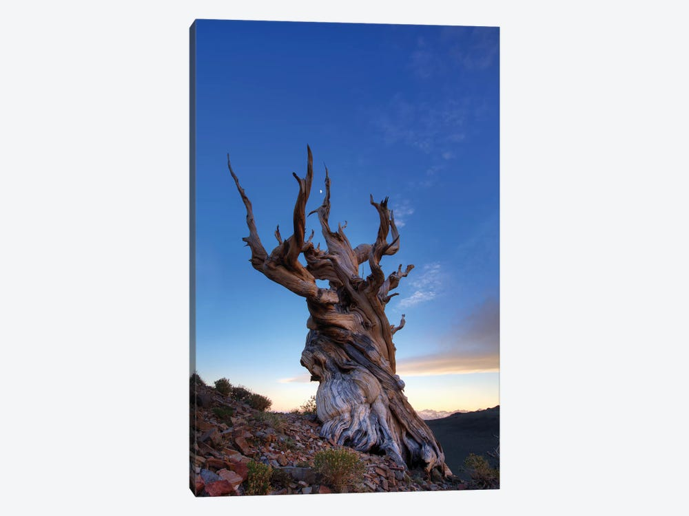 USA, California, White Mountains. Bristlecone pine tree at sunset. by Jaynes Gallery 1-piece Canvas Wall Art