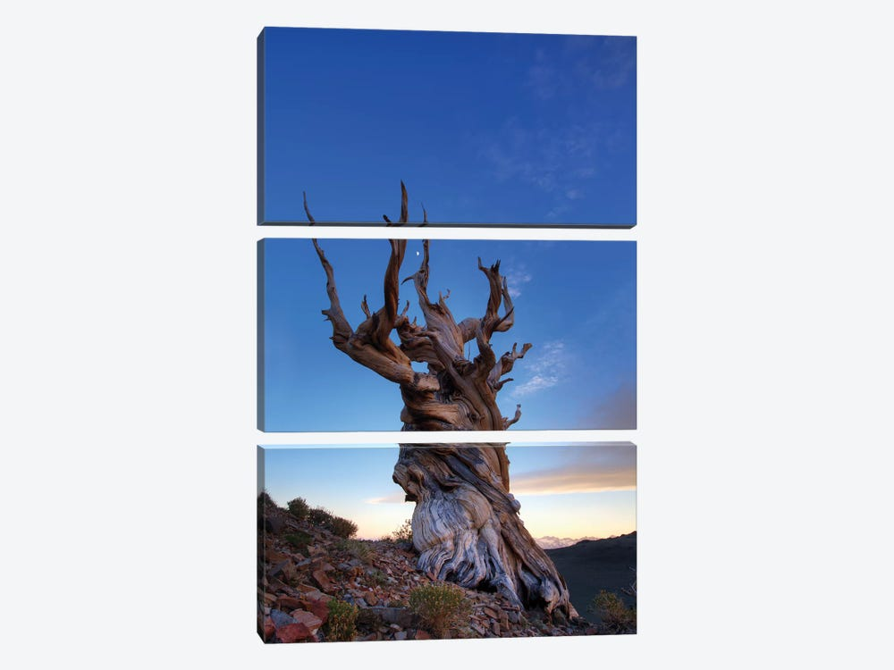 USA, California, White Mountains. Bristlecone pine tree at sunset. by Jaynes Gallery 3-piece Canvas Artwork