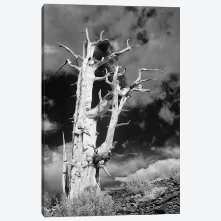 USA, California, White Mountains. Bristlecone pine tree in black and white. Canvas Print #JYG117} by Jaynes Gallery Canvas Art
