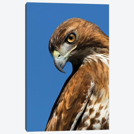 USA, California. Red-shouldered hawk portrait. Canvas Print #JYG122} by Jaynes Gallery Canvas Wall Art