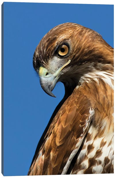 USA, California. Red-shouldered hawk portrait. Canvas Art Print