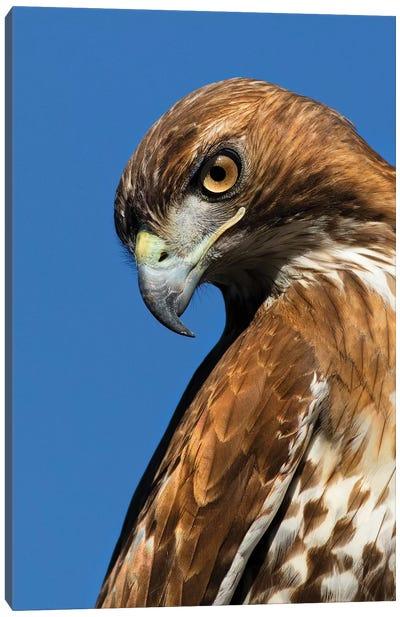 USA, California. Red-shouldered hawk portrait. Canvas Art Print