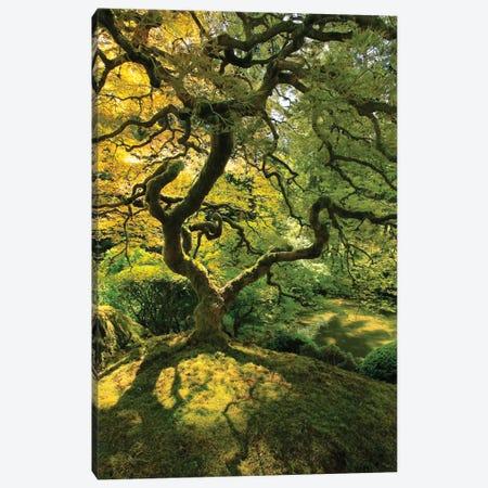 Usa, Oregon, Portland. Japanese lace maple tree Canvas Print #JYG145} by Jaynes Gallery Canvas Art Print