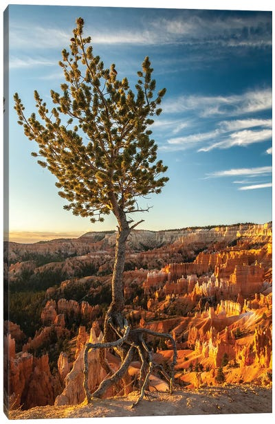 USA, Utah, Bryce Canyon National Park. Sunrise on ponderosa pine and canyon. Canvas Art Print