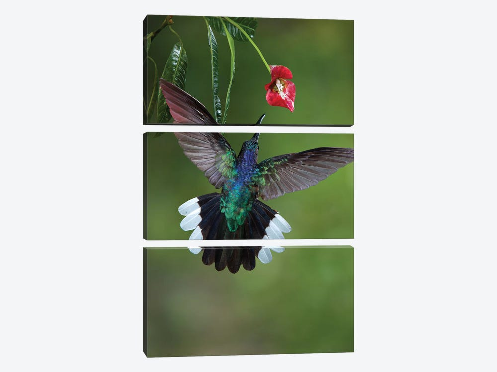 Caribbean, Costa Rica. Violet sabrewing hummingbird feeding. 3-piece Art Print