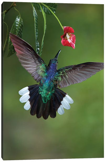 Caribbean, Costa Rica. Violet sabrewing hummingbird feeding. Canvas Art Print