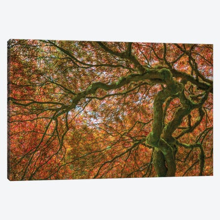 USA, Washington State, Bainbridge Island. Japanese maple tree close-up. Canvas Print #JYG166} by Jaynes Gallery Canvas Print