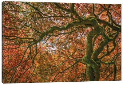 USA, Washington State, Bainbridge Island. Japanese maple tree close-up. Canvas Art Print