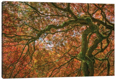USA, Washington State, Bainbridge Island. Japanese maple tree close-up. Canvas Art Print