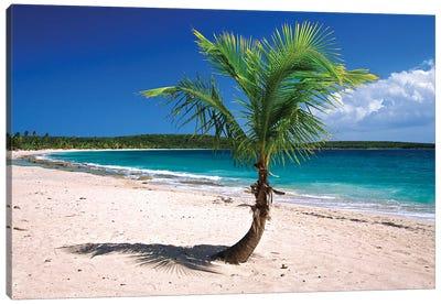 Caribbean, Puerto Rico, Vieques. Lone coconut palm on Red Beach. Canvas Art Print