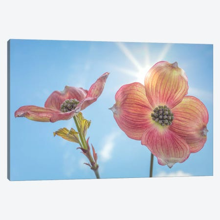 USA, Washington State, Seabeck. Pink dogwood blossoms. Canvas Print #JYG192} by Jaynes Gallery Art Print