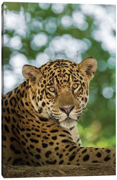 Brazil, Pantanal. Portrait of wild resting jaguar. Canvas Art Print