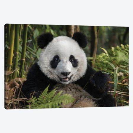 Portrait Of Young Giant Panda, China, Chengdu, Chengdu Panda Base. 3-Piece Canvas #JYG214} by Jaynes Gallery Canvas Art Print