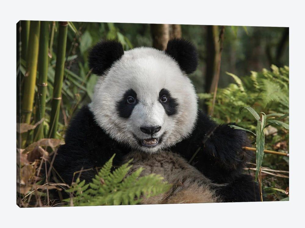 Portrait Of Young Giant Panda, China, Chengdu, Chengdu Panda Base. by Jaynes Gallery 1-piece Canvas Artwork