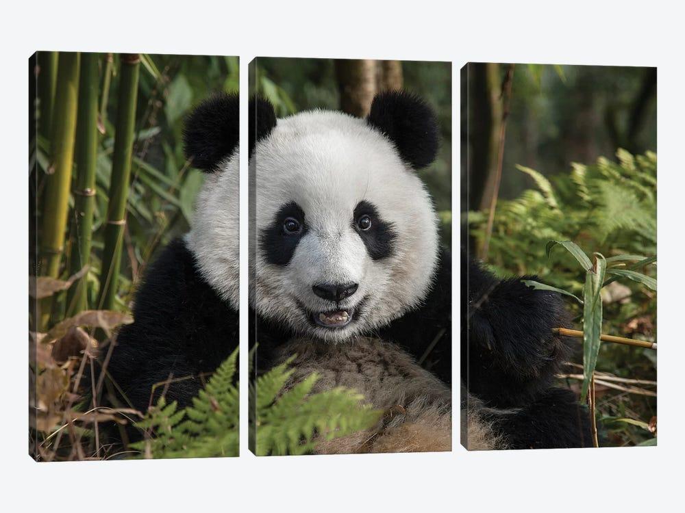 Portrait Of Young Giant Panda, China, Chengdu, Chengdu Panda Base. by Jaynes Gallery 3-piece Canvas Art