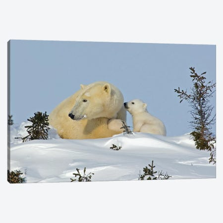 Polar Bear Cub Trying To Get Mother's Attention, Canada, Manitoba, Wapusk National Park. Canvas Print #JYG215} by Jaynes Gallery Art Print