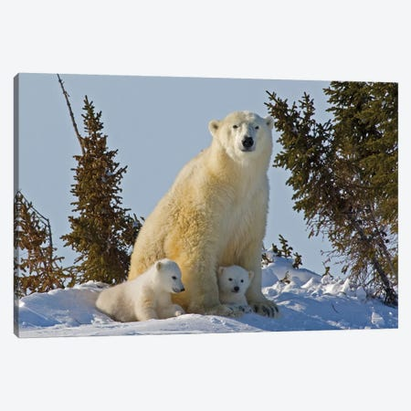 Polar Bear Cubs Being Protected By Mother, Canada, Manitoba, Wapusk National Park. Canvas Print #JYG216} by Jaynes Gallery Art Print