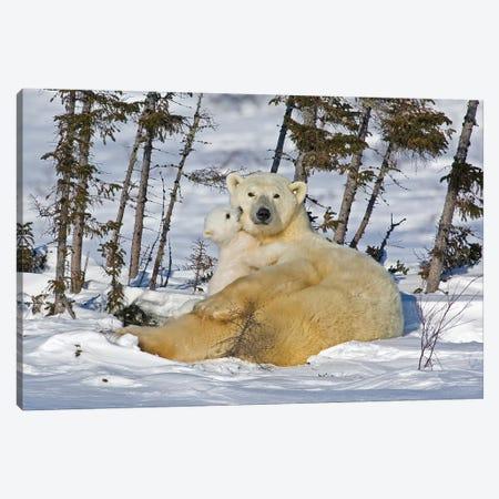 Polar Bear Cub Playing With A Watchful Mother, Canada, Manitoba, Wapusk National Park. Canvas Print #JYG217} by Jaynes Gallery Canvas Art Print