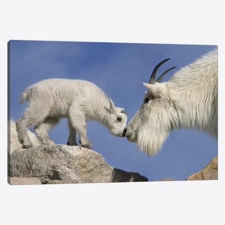 Mountain Goat Mother And Newborn Kid Greeting, USA, Colorado, Mount Evans. 3-Piece Canvas #JYG218} by Jaynes Gallery Canvas Art
