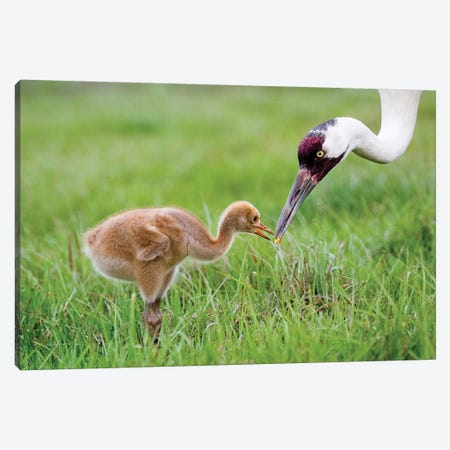 Whooping Crane Parent Feeds Morsel To Chick, USA, Florida, Lake Kissimmee. Canvas Print #JYG219} by Jaynes Gallery Canvas Wall Art