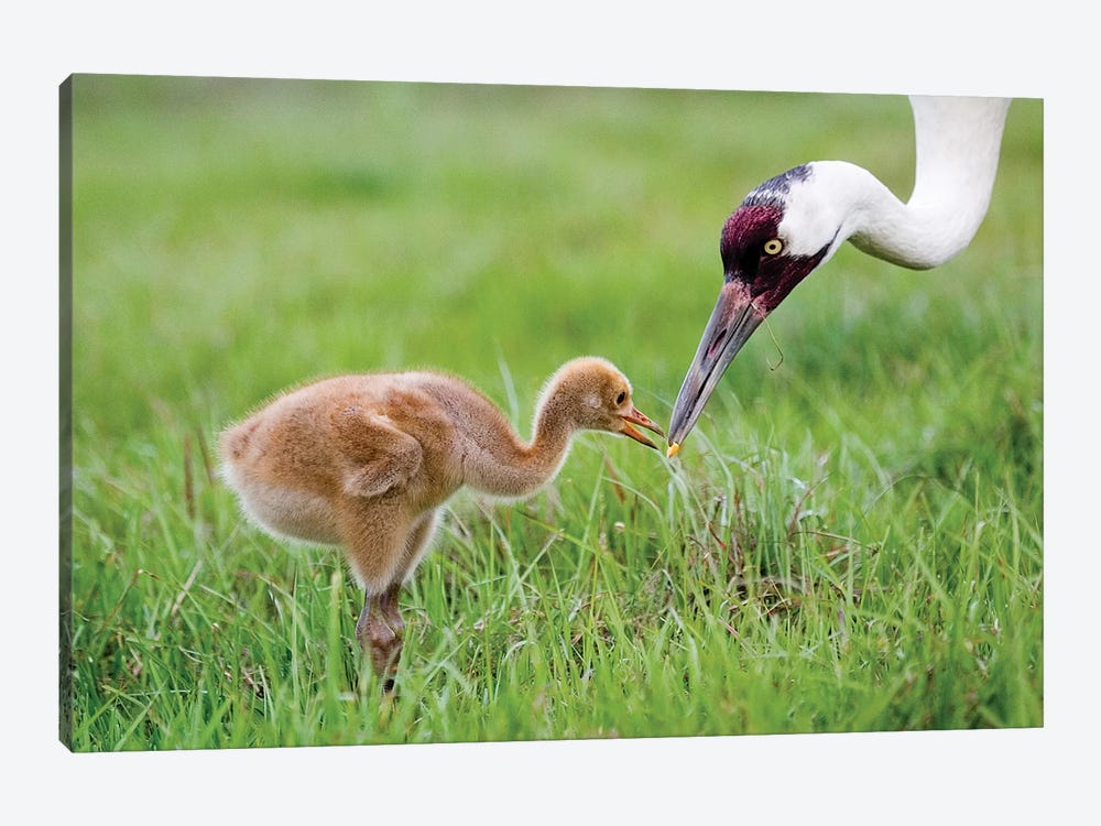 Whooping Crane Parent Feeds Morsel To Chick, USA, Florida, Lake Kissimmee. by Jaynes Gallery 1-piece Art Print