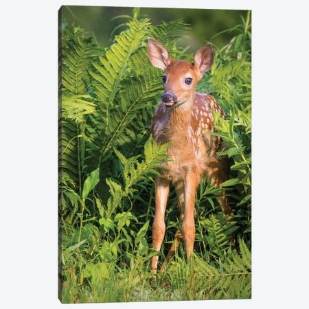 White-Tailed Deer Fawn Standing In Ferns, USA, Minnesota, Sandstone, Minnesota Wildlife Connection. Canvas Print #JYG220} by Jaynes Gallery Art Print