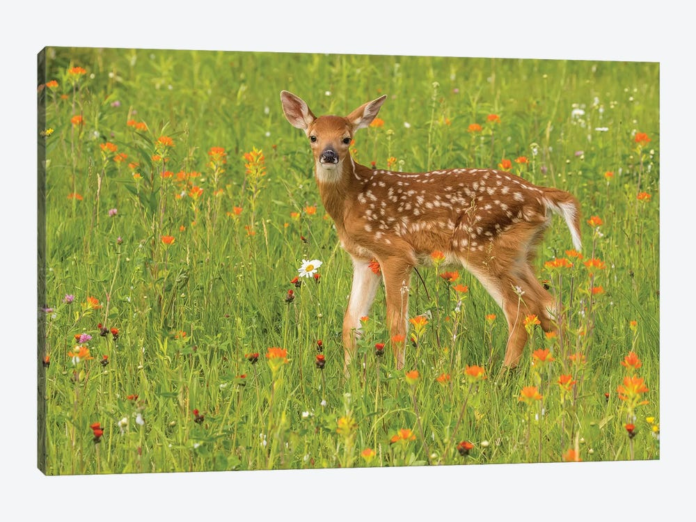 Pine County. Captive Fawn. by Jaynes Gallery 1-piece Canvas Wall Art