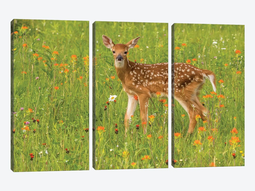 Pine County. Captive Fawn. by Jaynes Gallery 3-piece Canvas Wall Art