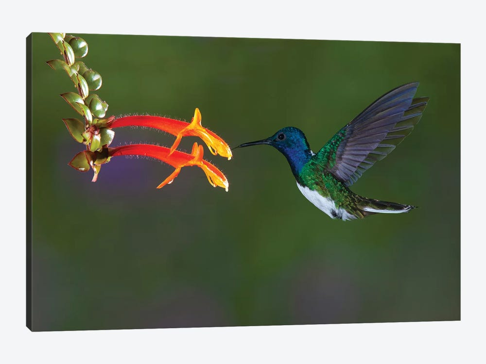 Costa Rica. White-necked Jacobin hummingbird. by Jaynes Gallery 1-piece Canvas Art Print