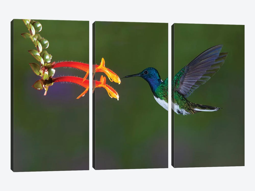 Costa Rica. White-necked Jacobin hummingbird. by Jaynes Gallery 3-piece Art Print
