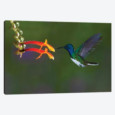 Costa Rica. White-necked Jacobin hummingbird. Canvas Print #JYG22} by Jaynes Gallery Canvas Wall Art