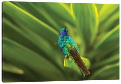 Ecuador, Nono. Sparkling violet-ear on leaf. Canvas Art Print