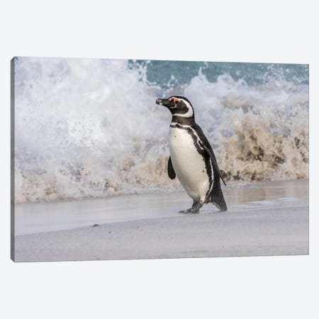 Falkland Islands, Bleaker Island. Magellanic penguin and crashing surf. Canvas Print #JYG26} by Jaynes Gallery Canvas Art Print