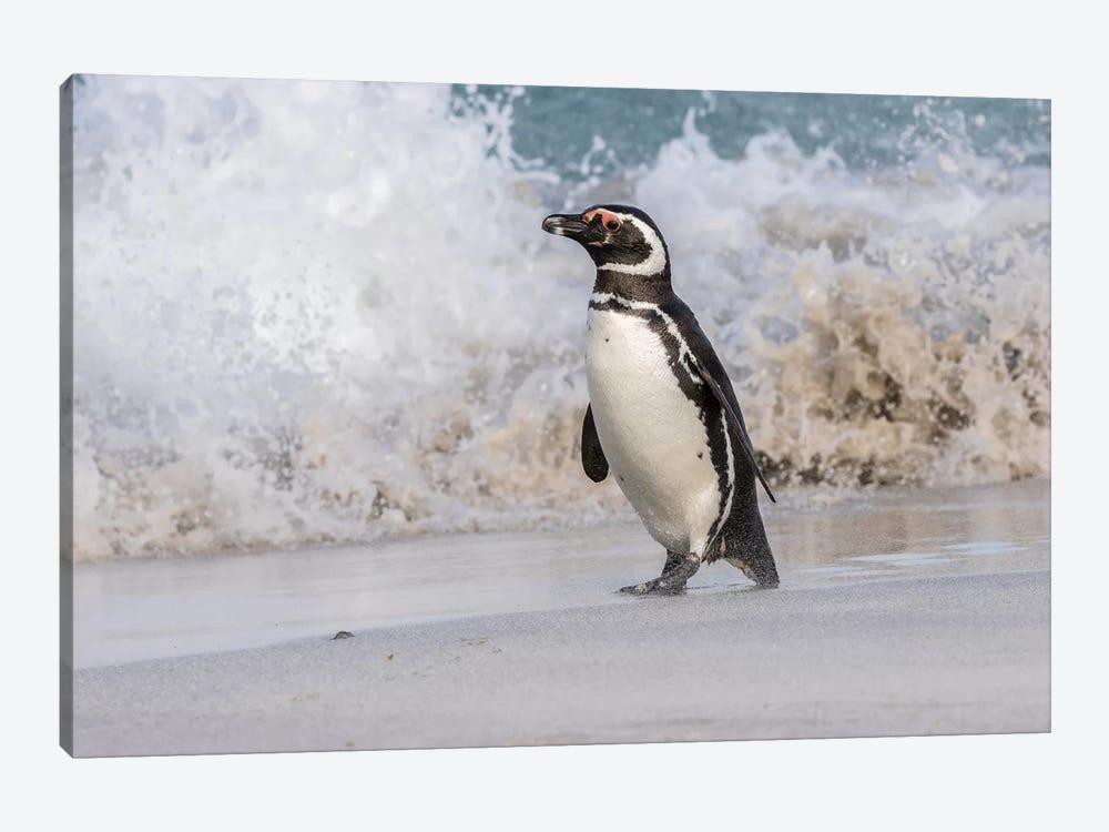Falkland Islands, Bleaker Island. Magellanic penguin and crashing surf. by Jaynes Gallery 1-piece Canvas Print