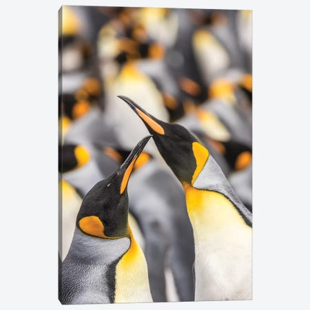 Falkland Islands, East Falkland. King penguins in colony I Canvas Print #JYG27} by Jaynes Gallery Art Print