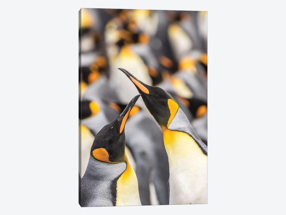 Falkland Islands, East Falkland. King penguins in colony I by Jaynes Gallery 1-piece Canvas Art