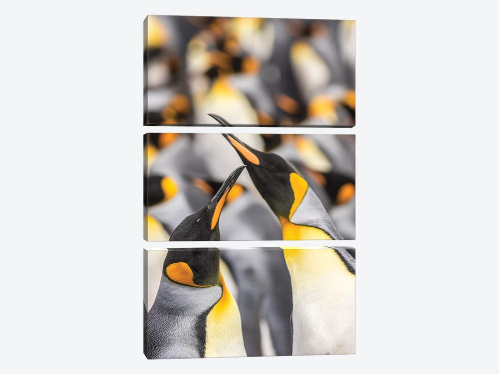 Falkland Islands, East Falkland. King penguins in colony I by Jaynes Gallery 3-piece Canvas Artwork