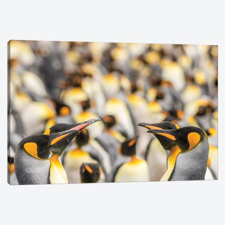 Falkland Islands, East Falkland. King penguins in colony II Canvas Print #JYG28} by Jaynes Gallery Canvas Artwork