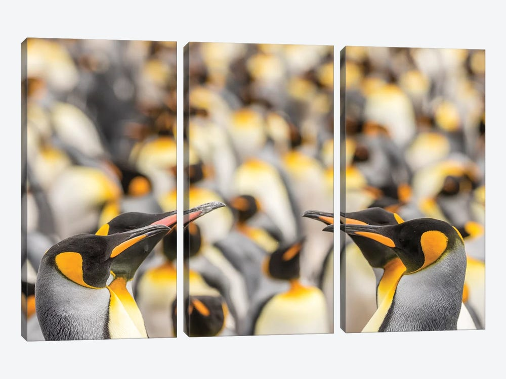 Falkland Islands, East Falkland. King penguins in colony II by Jaynes Gallery 3-piece Canvas Print