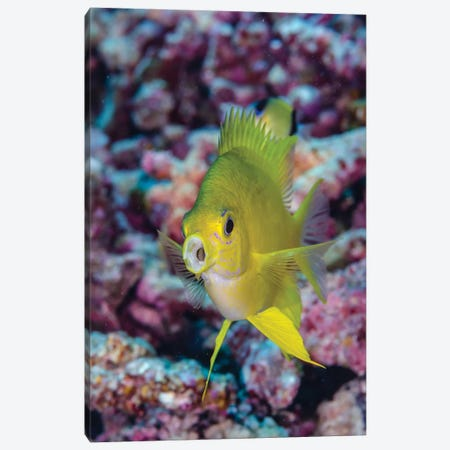 Fiji. Close-up of yellow chromes fish. Canvas Print #JYG29} by Jaynes Gallery Canvas Wall Art