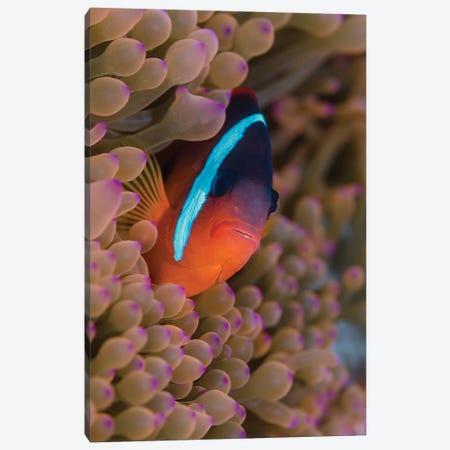 Fiji. Clownfish hiding among sea anemones. Canvas Print #JYG30} by Jaynes Gallery Canvas Print