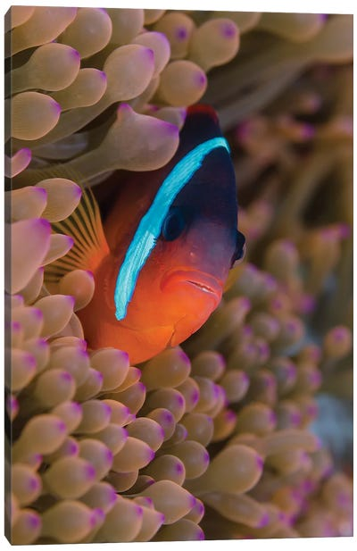 Fiji. Clownfish hiding among sea anemones. Canvas Art Print